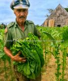 Cuban tobacco picker