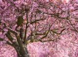 Vancouver Cherry Blossoms.jpg