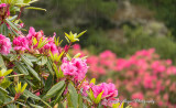 Raindrops_On_Rhododendrums.jpg