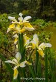 Irises and Raindrops.jpg