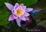 Raindrops_On_Water_Lilies.jpg