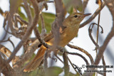Oriental Reed Warbler 8692.jpg