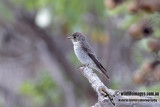 Dark-sided Flycatcher 5443.jpg