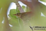 Kamchatka Leaf Warbler 4690.jpg