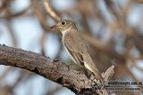 Asian Brown Flycatcher 3641.jpg