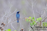 Blue & White Flycatcher 6484.jpg