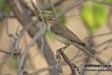 Willow Warbler a4577.jpg