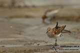 Little Stint  (Australian vagrant)