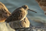 Short-billed Dowitcher (Australian vagrant)