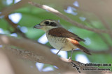 Tiger Shrike 3439.jpg