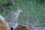 Short-eared Rock-wallaby