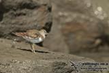 Common Sandpiper a6151.jpg