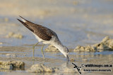 Common Greenshank a0011.jpg