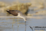 Common Greenshank a0055.jpg