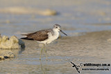 Common Greenshank a9998.jpg