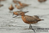 Bar-tailed Godwit a1450.jpg