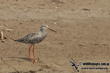 Spotted Redshank a0235.jpg