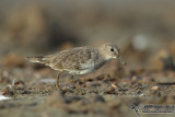 Temminck's Stint 5448.jpg