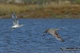 Eurasian Curlew 4096.jpg