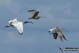 Eurasian Curlew 4110.jpg
