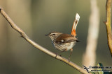 Scrubwrens, Fieldwrens and Heathwrens