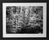 WhiteForest0597