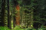 SequoiaForestHike8182
