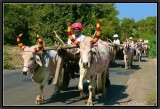 The Procession of Bollywood Oxen.