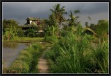 A walk in the Rice Fields near Ubud.