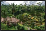 Terraces Rice Fields. Tegal Lallang.