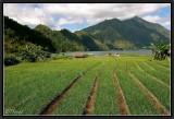 Onions Fields near Batur Lake.