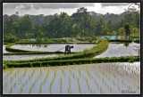 Planting the Young Rice. Ubud.