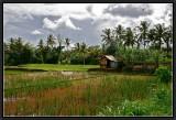 Rice Fields in  Ubud.