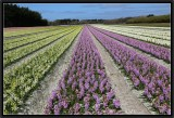 Hyacinths Fields For Ever.