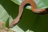 Goldenchild Reticulated Python