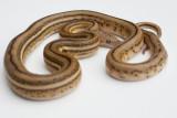 Super Dwarf, Super Tiger Reticulated Python