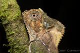 Casque-headed Lizard, Corytophanes cristatus