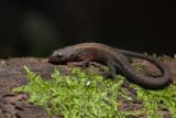 Keeled Leaf Litter Lizard. Leposoma southi