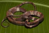 Snail Eating Snake (Adult)