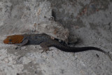 Male, Yellow-headed Gecko