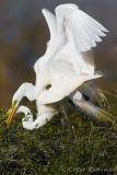 Great Egret Copulation