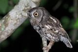 Eastern Screech Owl, Jefferson County