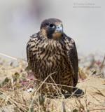 Juvenile Peregrine Falcon on Cliff