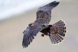 Juvenile Peregrine Launch Flight