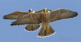 Juvie Peregrines Flying