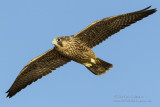 Peregrine Falcon Fledgling  in Flight