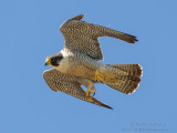 Peregrine Falcon in High Speed Flight
