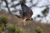 Peregrine Launch from Pine Trees