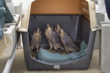 Peregrine Falcon Fledglings in Temporary Nest on 18 Story Roof