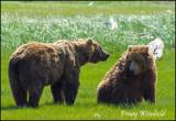 Brown bears 2.